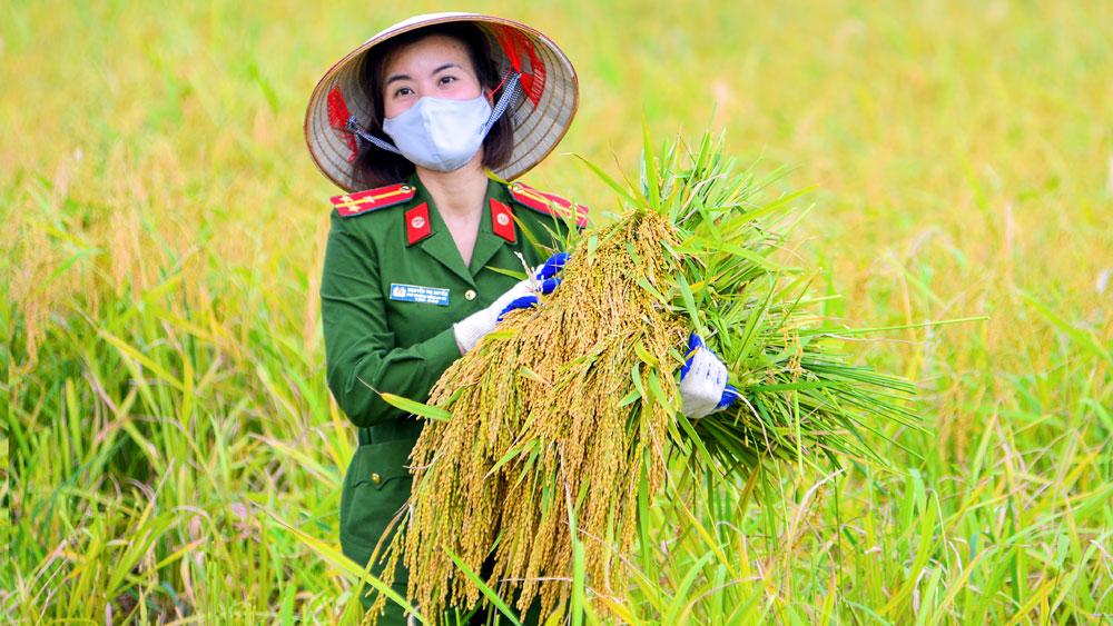 Giúp dân thu hoạch lúa trong mùa dịch