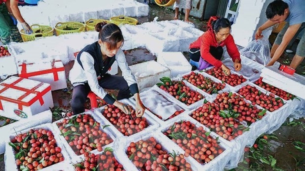 2021 lychee harvest brings revenue of over VND6.8 trillion to Bac Giang