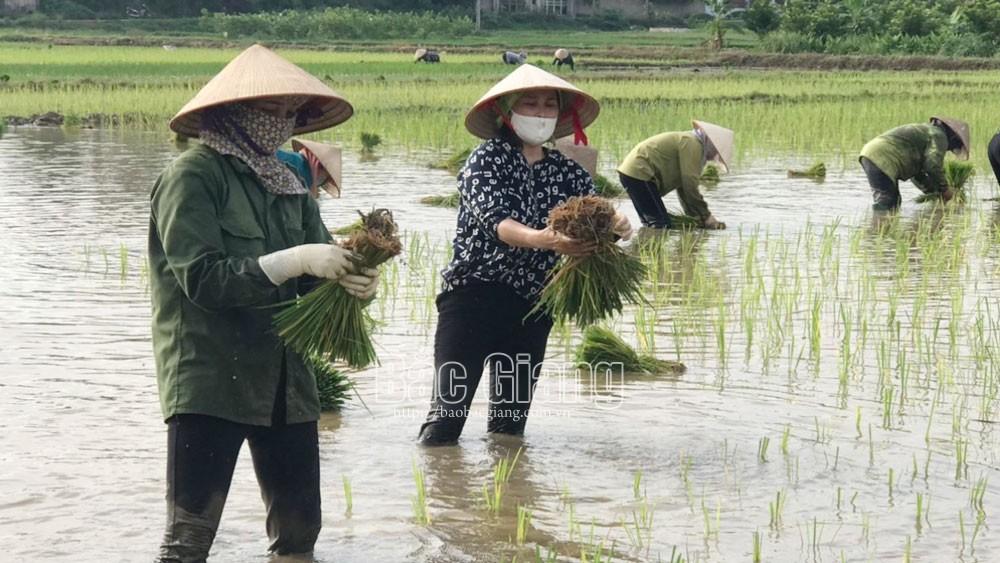 phụ nữ, bắc Giang, ngày công, sản xuất, thu hoạch nông sản.
