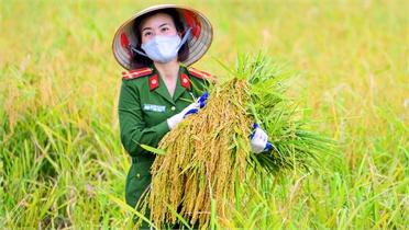 Nhóm ảnh dự thi: Giúp dân thu hoạch lúa trong mùa dịch