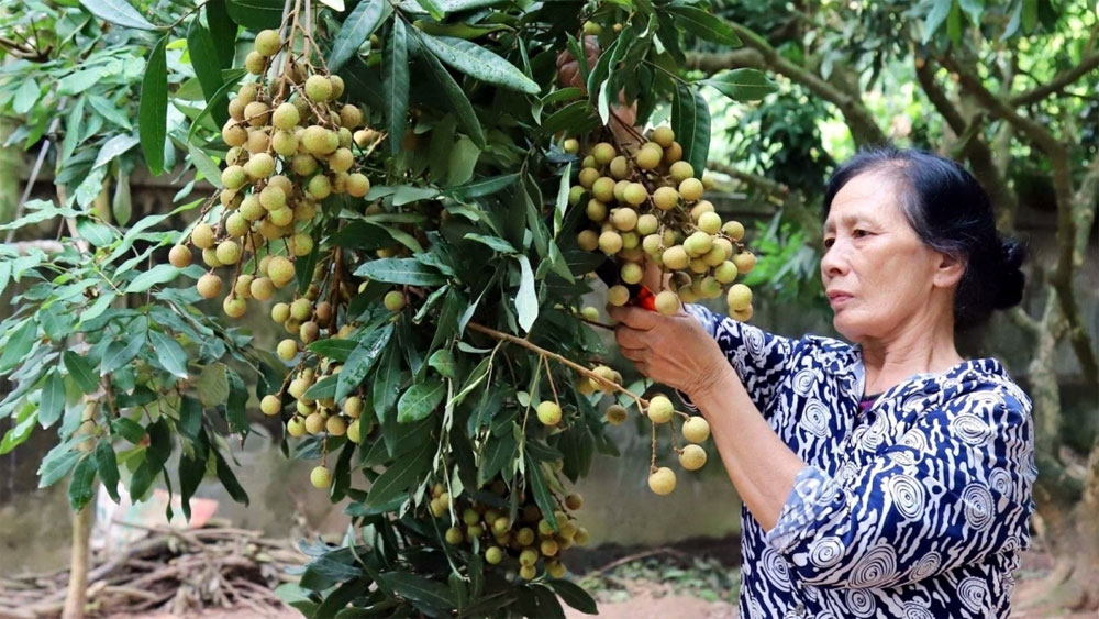 Hung Yen to hold conference to promote longan and other produce