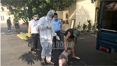 Phạt vận chuyển lợn không có chứng nhận kiểm dịch