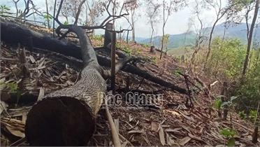 Phá rừng tại Sơn Động, 3 cá nhân bị phạt 21 triệu đồng
