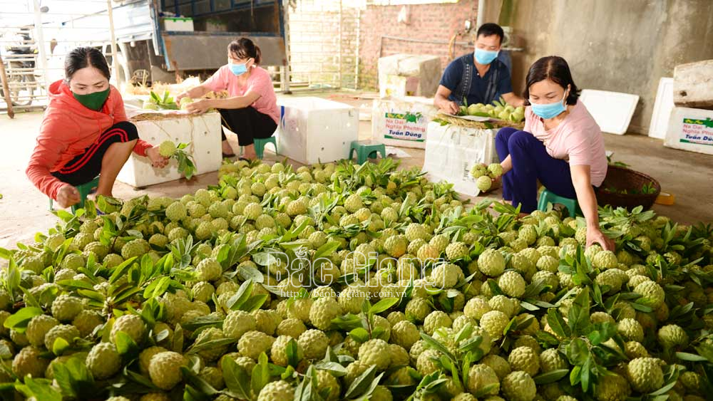 Early custard apples in Bac Giang enjoys high price and smooth consumption
