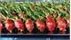 Vietnamese dragon fruit gains favour in Australia