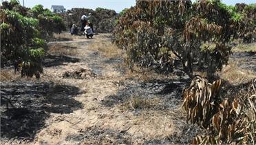 Khuyến cáo phòng cháy, chữa cháy tại vườn vải sau thu hoạch