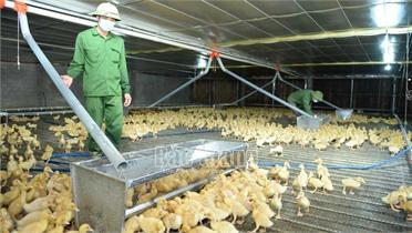 Trang trại nuôi vịt lớn nhất huyện Lục Ngạn thu lãi hơn 300 triệu đồng/lứa
