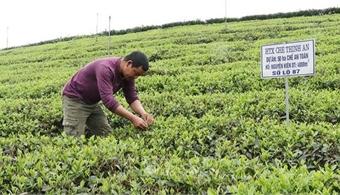 Thai Nguyen tea gets trademark in international markets
