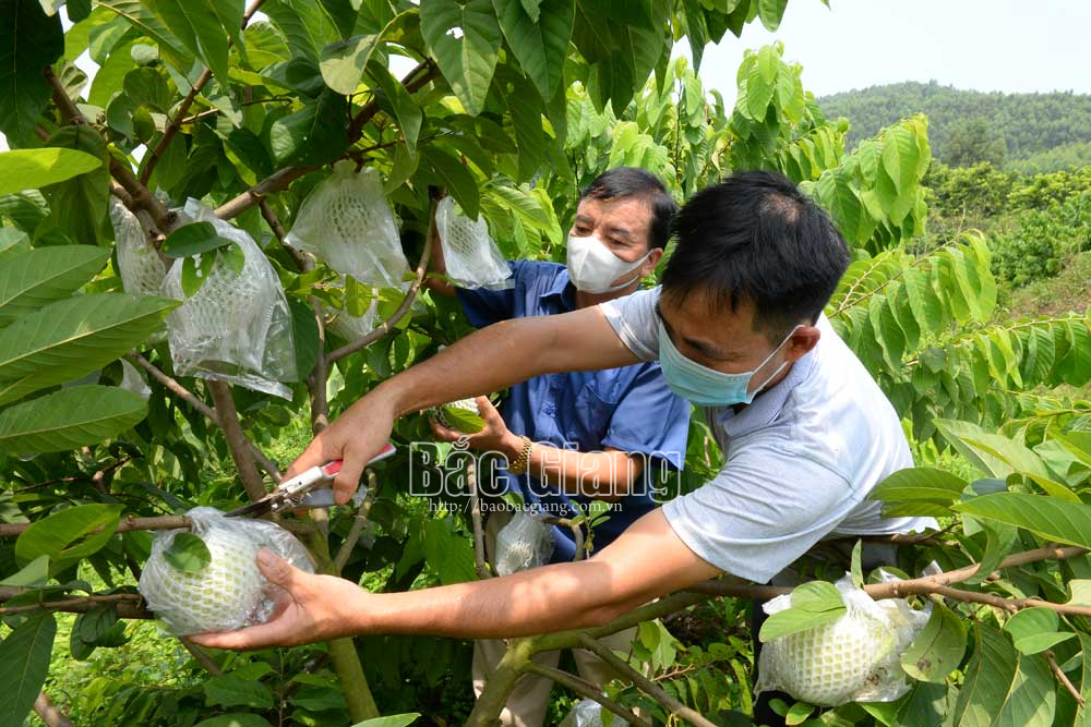 Sau 2 năm trồng, giống na Thái Lan đã cho quả. Ảnh: Nông dân thôn Kỳ Sơn, xã Nghĩa Phương thu hoạch na Thái Lan.