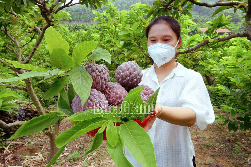 Bac Giang province, special custard apple, sought by customers, main harvest season, concentrated cultivation area,  high quality and selling price