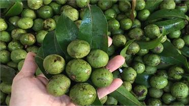 Lần đầu tiên xuất khẩu 22 tấn quả sấu đông lạnh sang Australia
