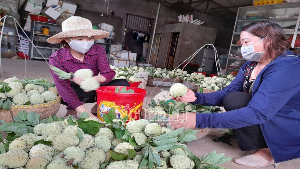 About 3.5 tonnes of custard apples and longan consumed in Luc Nam