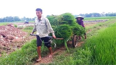 Thị trấn Nhã Nam (Tân Yên): Phá bỏ gần 10 ha lúa, vì sao?