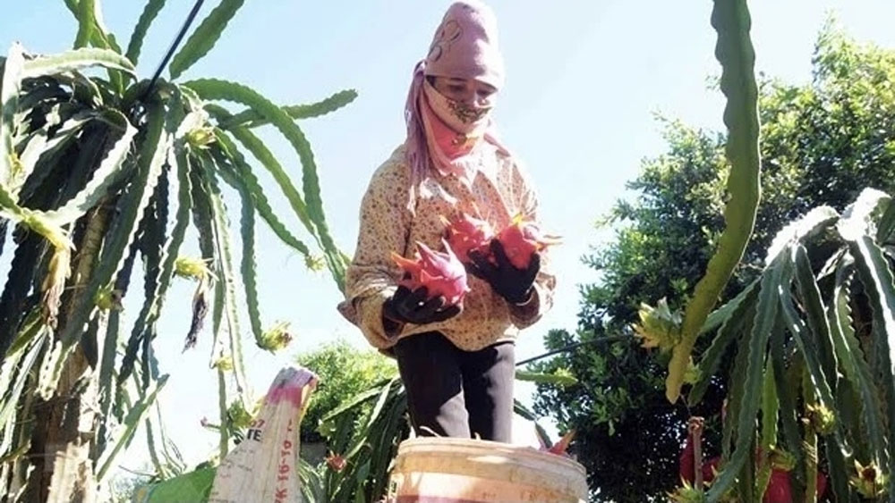Son La province, 10 tonnes, red-flesh dragon fruit, Russia market, total output,  agricultural products, Covid-19 pandemic