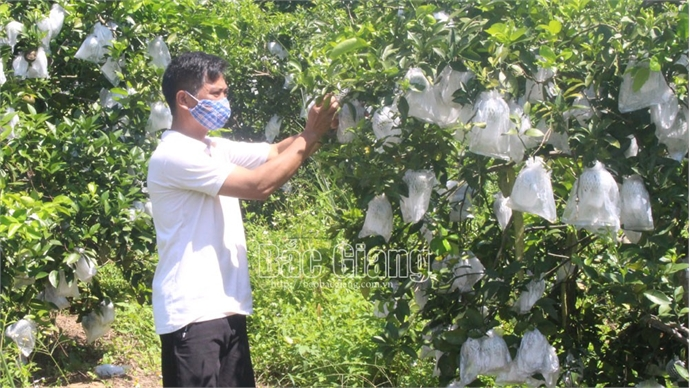 Orange and pomelo output yields about 80,000 tonnes