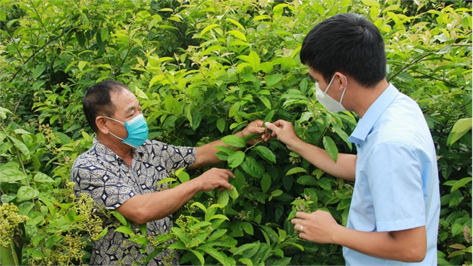 Yen The taps potential for herbal plant development