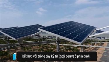 """Trồng """"thần dược"""" kết hợp điện mặt trời, nông dân bội thu"""