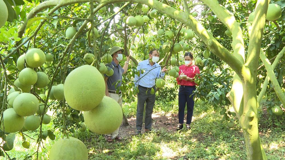 Khách đến thăm vườn bưởi da xanh của ông Nguyễn Văn Hữu (ngoài cùng bên trái).