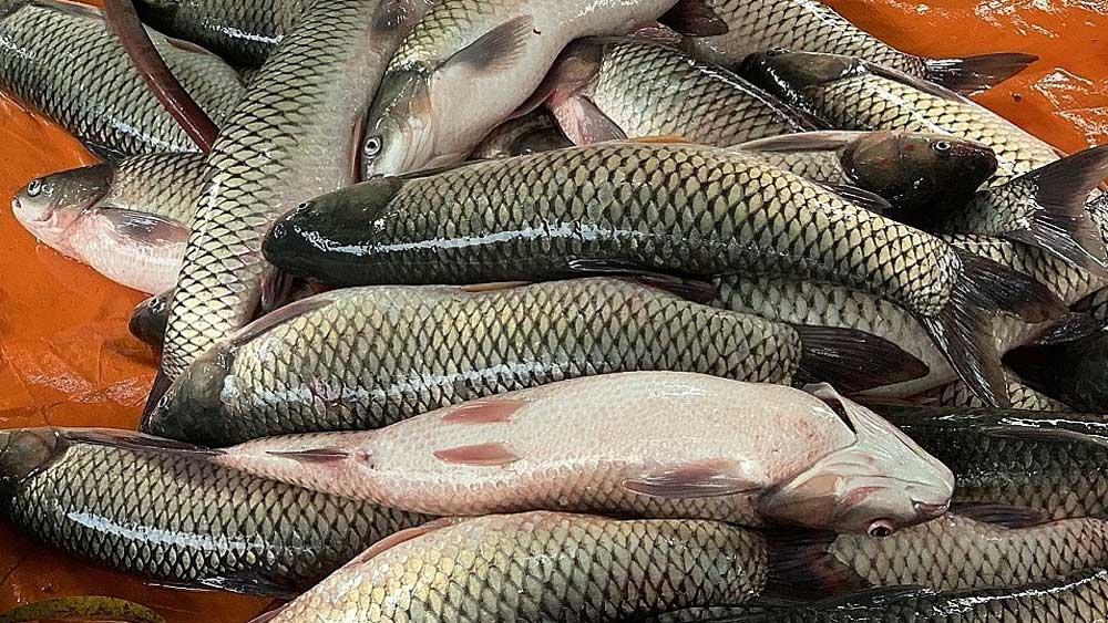 Trộn chế phẩm đất hiếm, thức ăn nuôi cá, Hà Nam