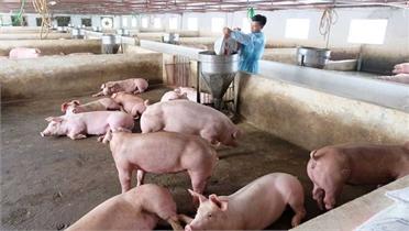 Giá lợn hơi giảm kỷ lục, thấp nhất 35.000 đồng/kg