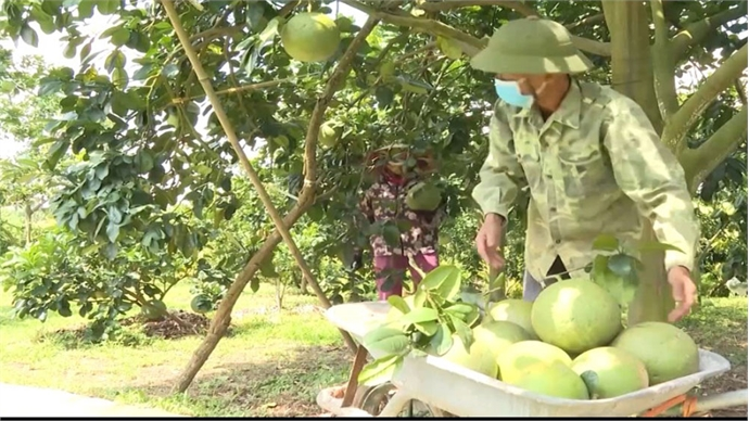 Green skin pomelo enjoys ease consumption and high selling price