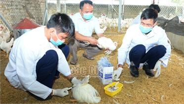 Triển khai quyết liệt các biện pháp phòng, chống dịch bệnh gia súc, gia cầm