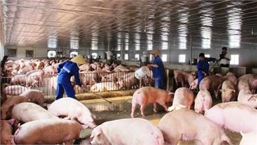 Dự báo giá lợn hơi tiếp tục giảm