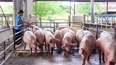 Khủng hoảng thừa thịt lợn