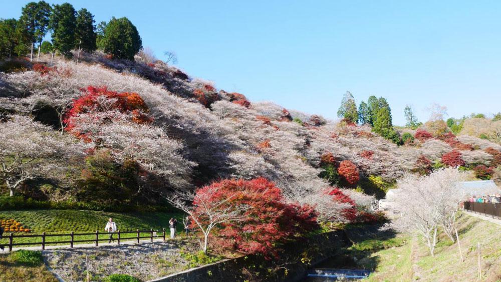 Hoa anh đào nở vào mùa thu ở Nhật Bản