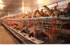 Yên Thế: Thận trọng tái đàn gia cầm phục vụ thị trường cuối năm