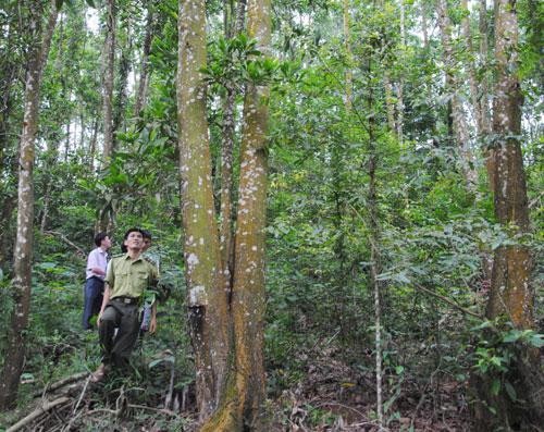 Rừng keo gần 20 năm tuổi tại thôn Song Sơn, xã Tiến Thắng (Yên Thế)